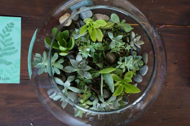 Así queda el terrario cuando se acomodan las plantas, la tierra (en poca cantidad) -lleva debajo una capa de hierba seca con raíces humedecidas, y las piedras... ¡bastante fácil!